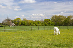 White horse on a spring pasture Royalty Free Stock Photo