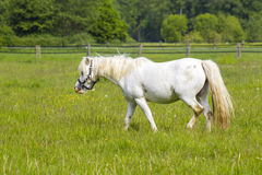 White horse on a spring pasture Stock Photos