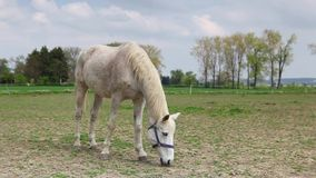 White horse on the spring pasture Stock Photography