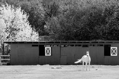 White horse in springtime Royalty Free Stock Photography
