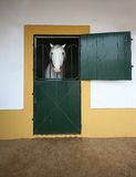 White horse in the stable. White horse In Stable with green doors Royalty Free Stock Images