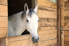 White horse in the stable box stock images