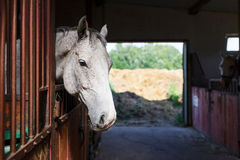 White horse in the stable Stock Photos