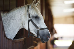 White horse in the stable Royalty Free Stock Photo