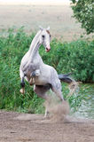 White horse stallion playing in summer Stock Image