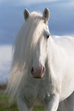 White horse stallion portrait Stock Photos