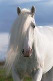 White horse stallion portrait. In sunset Stock Photos