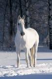 White horse stallion portrait. White horse portrait in winter Stock Photos