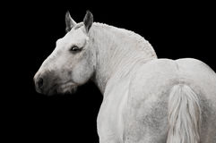 White horse stallion portrait isolated on black. White percheron horse stallion portrai on black  background Royalty Free Stock Photo