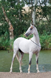 White horse stallion portrait in summer Royalty Free Stock Photography