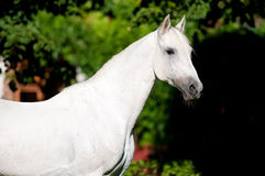 White horse stallion portrait, Tersk horse Royalty Free Stock Photo