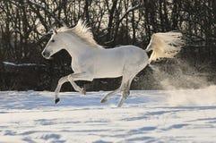 White horse stallion run gallop. In winter Stock Photos