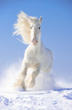 White horse stallion runs gallop in front focus. White Shire horse stallion runs gallop in front focus Royalty Free Stock Photography