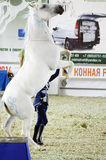 White Horse Stance Moscow Ridding Hall International Horse Exhibition Stock Image