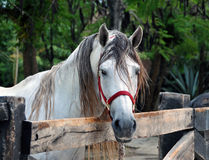 White horse standing at fence Stock Photo