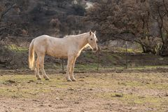 White gelding in a field. Beautiful white gelding in field with hills and trees in the background at golden hour stock image