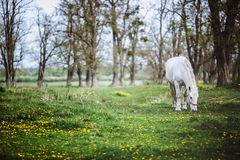 White horse standing in a forest glade with yellow flowers royalty free stock photo