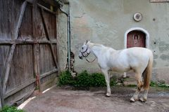 White horse near wooden gate Stock Images