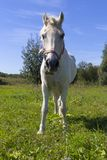 White horse standing on a green field. A beautiful white horse feeding in a green pasture. royalty free stock photo