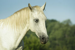 White horse standing in a green field under a blue sky. White horse with light mane standing in a green field under a blue sky Stock Image