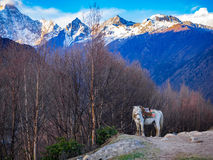 White horse standing on a hill having Mount Siguniang in the bac Stock Photo