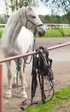 White horse standing on a leash, vertical photo Royalty Free Stock Image
