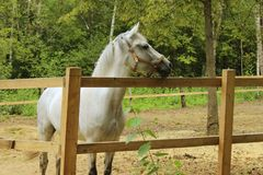White Horse Standing And Looking To The Side. Animal Background. White Horse Standing And Looking To The Side stock photos