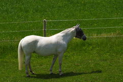 White horse standing on the pasture and green medow Royalty Free Stock Images
