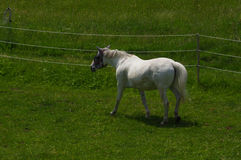 White horse standing on the pasture and green medow Royalty Free Stock Photos
