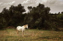 White Horse. Standing peacefully in a pasturing field Stock Images