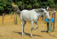White horse standing in the pen Royalty Free Stock Photography
