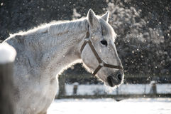 White horse standing in snow Stock Images