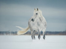 White horse standing in the snow Royalty Free Stock Photography