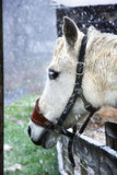 White Horse Standing In Snow. White and brown paint horse in the snow with wood fence Royalty Free Stock Photos