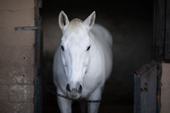 White horse standing in stable Stock Photos