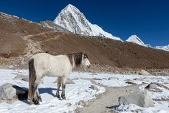 White horse standing on the trail to everest Base. Royalty Free Stock Image