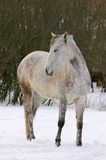 White horse standing in the winter farm Royalty Free Stock Photography