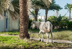 White horse stands on the background of palm trees at sunset.  Royalty Free Stock Images