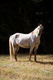 A white horse stands on the meadow Royalty Free Stock Photos