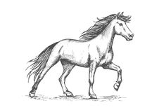 White horse stomping hoof sketch portrait. Slender white horse portrait. Wild raging mustang stomping hoof on ground. Horsrace purebred strong stallion running Royalty Free Stock Images