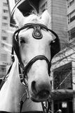 White horse royalty free stock images