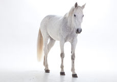 White horse in studio Royalty Free Stock Image