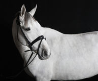 White horse in the studio Stock Photography