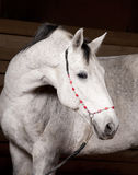 White horse studio shot Stock Photos