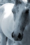 White Horse Stock Photo