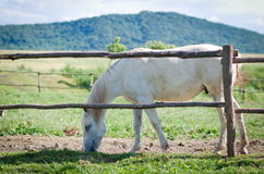 White horse in summer Stock Photo