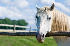 White horse in summer Stock Photos