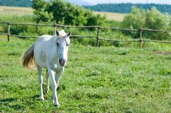 White horse in summer Stock Images