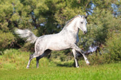 White horse in summer field Stock Images