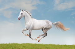 White horse in the summer field Royalty Free Stock Photography